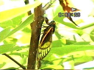 Feeding cicada