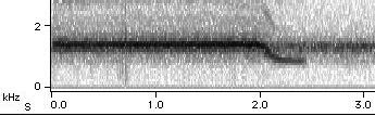M. septendecim calling song