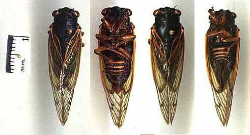M. septendecula